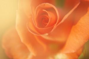 shine_rose